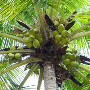 kokosnuss gesund ungesund